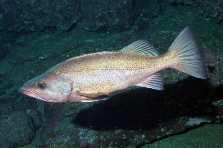 This undated photo provided by NOAA Fisheries shows a Bocaccio. Federal officials are increasing the catch limits for many types of groundfish, including the Bocaccio, because the numbers of one key species, the yelloweye rockfish, has rebounded much faster than expected under a restoration plan. (NOAA Fisheries via AP)