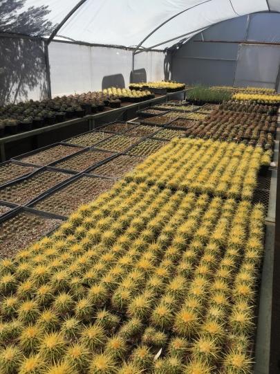 This November 2018 photo shows endangered cacti grown in El Charco's greenhouse at El Charco del Ingenio in San Miguel de Allende, Mexico. (Kim Curtis/El Charco del Ingenio AC via AP)
