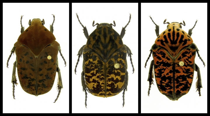 "This combination of undated photos provided by Brett Ratcliffe in December 2018 shows, from left, Gymnetis drogoni, Gymnetis rhaegali and Gymnetis viserioni beetles from South America. Ratcliffe named three of his eight newest beetle discoveries after the dragons from the HBO series ""Game of Thrones"" and George R.R. Martin book series ""A Song of Ice and Fire."" (Brett Ratcliffe via AP)"