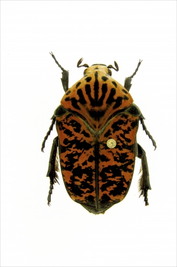 """This undated photo provided by Brett Ratcliffe in December 2018 shows a Gymnetis viserioni beetle from the Calima Valley in Colombia. Ratcliffe named three of his eight newest beetle discoveries after the dragons from the HBO series """"Game of Thrones"""" and George R.R. Martin book series """"A Song of Ice and Fire."""" (Brett Ratcliffe via AP)"""
