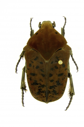 """This undated photo provided by Brett Ratcliffe in December 2018 shows a Gymnetis drogoni beetle from Buga, Colombia. Ratcliffe named three of his eight newest beetle discoveries after the dragons from the HBO series """"Game of Thrones"""" and George R.R. Martin book series """"A Song of Ice and Fire."""" (Brett Ratcliffe via AP)"""