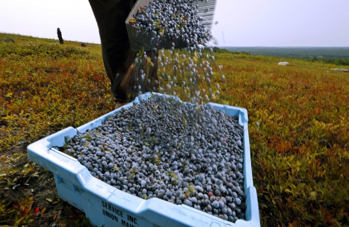 FILE - In this Aug. 24, 2018 file photo, a worker pours wild blueberries into a tray at a farm in Union, Maine. State agriculture officials said farmers collected about 57 million pounds of the wild fruit in 2018, down nearly 11 million pounds from the previous year. (AP Photo/Robert F. Bukaty, File)