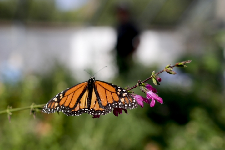 "FILE- In this Aug. 19, 2015 photo, Tom Merriman stands behind a monarch in his butterfly atrium at his nursery in Vista, Calif. Researchers with an environmental group are labeling as ""disturbingly low"" the number of western monarch butterflies that migrate along the California coast. A recent count by the Xerces Society recorded fewer than 30,000 butterflies, which it says is an 86 percent decline since 2017. (AP Photo/Gregory Bull, File)"