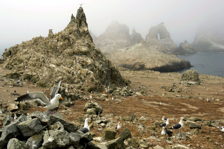 FILE - In this July 8, 2006, file photo, gulls are seen nesting near the North Landing area of the Farallon Islands National Refuge, Calif. Environmental research projects on everything from endangered animals to air and water quality are being delayed and disrupted by the month-long partial federal government shutdown _ and not just those conducted by government agencies. Scientists with universities, nonprofit organizations and private companies say their inability to collaborate with federal partners, gain access to federal lands and laboratories, and secure federal funding is jeopardizing their work. (AP Photo/Ben Margot, file)