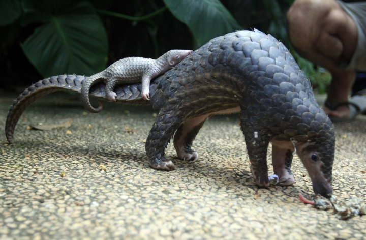 FILE - In this Thursday, June 19, 2014 file photo, a pangolin carries its baby at a Bali zoo in Bali, Indonesia. Their scales _ made of keratin, the same material as in human finger nails _ are in high demand for Chinese traditional medicine, to allegedly cure several ailments, although there is no scientific backing for these beliefs. (AP Photo/Firdia Lisnawati, File)