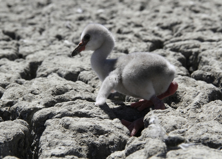 In this photo taken on Sunday, Jan. 27, 2019, a newly born flamingo chick struggles to walk on a dried out dam in Kimberley, South Africa. A special airlift for thousands of baby flamingos is under way in South Africa as drought has put their breeding ground in peril. A reservoir that hosts one of southern Africa's largest flamingo populations is drying up. (AP Photo)