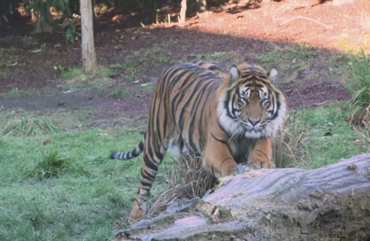 This image taken from video and made available by London Zoo, shows Sumatran tiger named Asim at London Zoo, Wednesday Jan. 30, 2019. Asim was recently transfered to London from a Danish safari park to serve as a new mate for female resident tiger Melati. (London Zoo via AP)