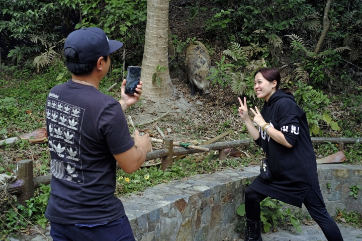 In this Jan. 13, 2019, photo, local residents take a photo in front of a wild boar at a Country Park in Hong Kong. Like many Asian communities, Hong Kong ushers in the astrological year of the pig. That's also good timing to discuss the financial center's contested relationship with its wild boar population. A growing population and encroaching urbanization have brought humans and wild pigs into increasing proximity, with the boars making frequent appearances on roadways, housing developments and even shopping centers. (AP Photo/Vincent Yu)