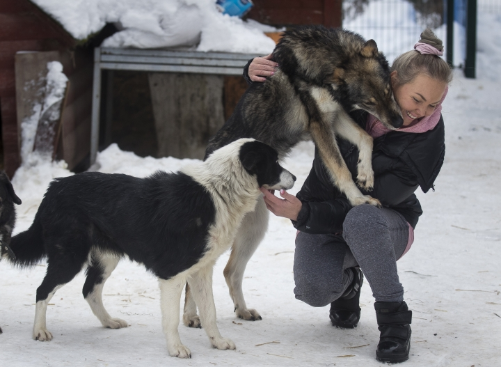 In this photo taken on Thursday, Jan. 31, 2019, Ilona Reklaityte, founder of a dog shelter, copes with two of her charges in Vilnius, Lithuania. A group of enthusiasts have launched an app that helps match aspiring dog owners with stray dogs. (AP Photo/Mindaugas Kulbis)