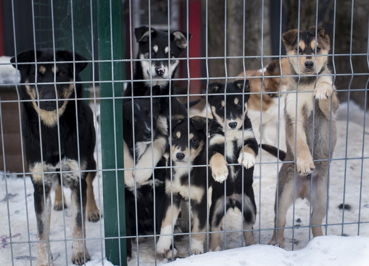 In this photo taken on Thursday, Jan. 31, 2019, stray dogs look out of the enclosure. in Vilnius, Lithuania .A group of Animal lovers in Lithuania have created a mobile application inspired by the popular dating app Tinder, to match up dogs in local shelters with new owners. (AP Photo/Mindaugas Kulbis)