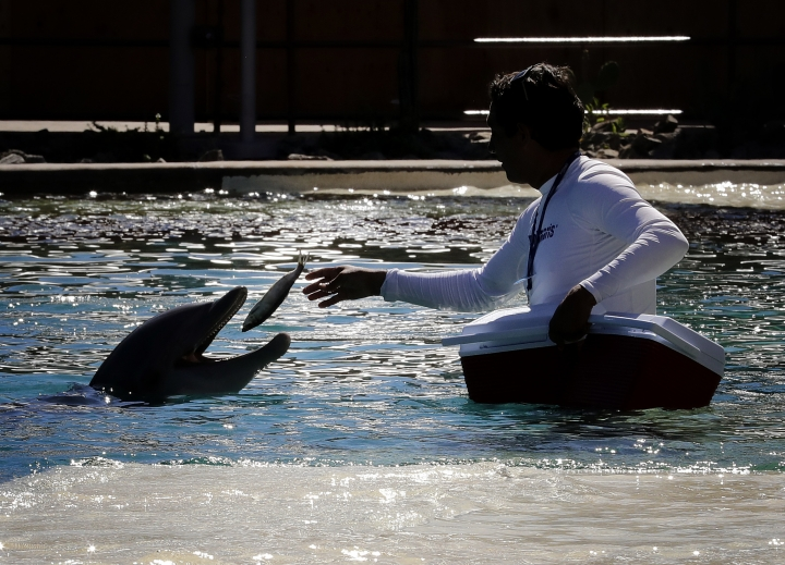 FILE - In this Oct. 13, 2016 file photo, a trainer feeds a dolphin a fish, Thursday, Oct. 13, 2016, at Dolphinaris in Scottsdale, Ariz. The Phoenix-area aquatic facility says it's temporarily closing following the death of four dolphins since it opened in 2016. Officials announced Tuesday, Feb. 5, 2019, that the facility will voluntarily close Friday but there isn't an immediate timetable for reopening. (AP Photo/Matt York, file)