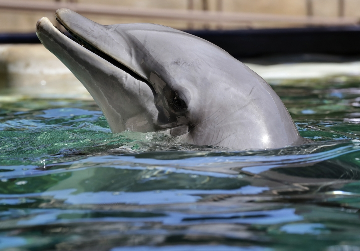 FILE - In this Oct. 13, 2016, file photo, a dolphin plays in the water at Dolphinaris in Scottsdale, Ariz. Officials say the aquatic facility in the metro Phoenix desert where four dolphins have died since opening more than two years ago hasn't faced any enforcement actions from regulators. (AP Photo/Matt York, File)