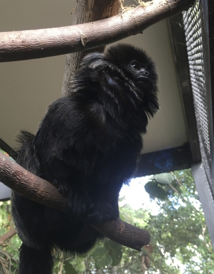 "In this undated photo provided by the Palm Beach Zoo, Kali, a 12-year-old rare Goeldi's monkey, sits on a branch at an enclosure at the zoo, in West Palm Beach, Fla. Police in Florida are on the lookout for the monkey that was stolen Monday, Feb. 11, 2019, from the zoo. Zoo president Margo McKnight said Goeldi's monkeys are ""increasingly sought after for the illegal pet trade."" (Palm Beach Zoo via AP)"