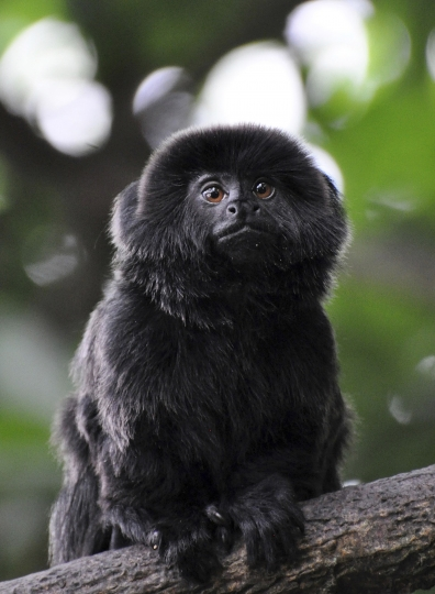 """CORRECTS TO CLARIFY THIS IS THE TYPE OF MONKEY THAT IS MISSING NOT THE ACTUAL MONKEY - In this undated photo provided by the Palm Beach Zoo, a rare Goeldi's monkey, sits on a branch at an enclosure at the Palm Beach Zoo, in West Palm Beach, Fla. Police in Florida are on the lookout for a 12-year-old Goeldi's monkey, that was stolen Monday, Feb. 11, 2019, from the zoo. Zoo president Margo McKnight said Goeldi's monkeys are """"increasingly sought after for the illegal pet trade."""" (Palm Beach Zoo via AP)"""