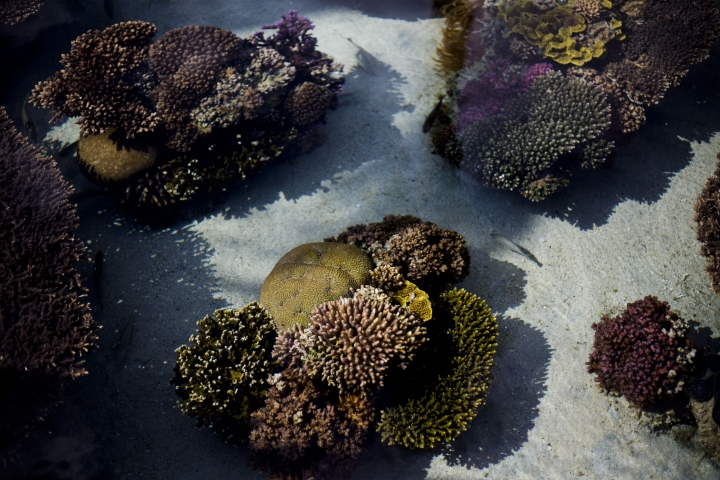 In this Monday, Feb. 11, 2019 photo, healthy corals are exhibited at the marine observatory in the Red Sea city of Eilat, southern Israel. As the outlook for coral reefs across our warming planet grows grimmer than ever, scientists have discovered a rare glimmer of hope: the corals of the northern Red Sea may survive, and even thrive, into the next century. The coral reefs at the northernmost tip of the Red Sea are exhibiting remarkable resistance to the rising water temperatures and acidification facing the region, according recent research conducted by the Interuniversity Institute for Marine Sciences. (AP Photo/Ariel Schalit)