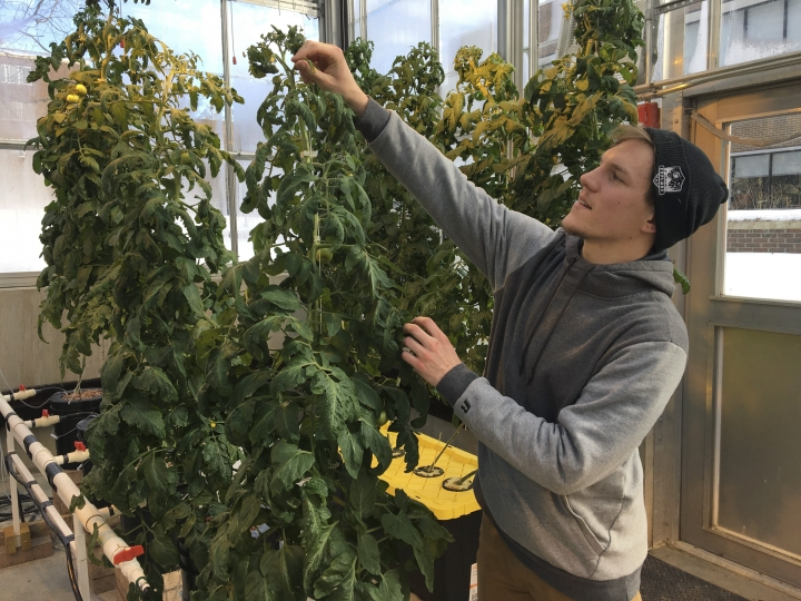 In this Feb. 14, 2019 photo, Colton Welch, a junior at the State University of New York at Morrisville, N.Y., tends hydroponic tomato plants which will provide students with data applicable to cannabis cultivation. The college's new minor in cannabis studies is among a handful of new university programs aimed at preparing students for careers in marijuana and hemp industries. (AP Photo/Marry Esch)