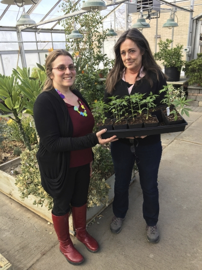 "In this Feb. 14, 2019 photo, Jennifer Gilbert Jenkins, left, assistant professor of agriculture at State University of New York, Morrisville, and Kelly Hennigan, who is author of the cannabis minor and chair of the Horticulture Department, hold a tray of cannabis seedlings at the SUNY campus in Morrisville, N.Y. ""Majoring in marijuana"" may sound like a college dropout track, but at a growing number of universities, cannabis is being added to the curriculum to prepare graduates for a blossoming career field.(AP Photo/Mary Esch)"