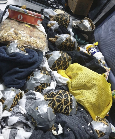 In this March 3, 2019, handout photo provided by the Bureau of Customs Public Information Office, duct taped turtles can be seen inside luggage as they are presented to reporters in Manila, Philippines. Philippine authorities said that they found more than 1,500 live exotic turtles stuffed inside luggage at Manila's airport. The various types of turtles were found Sunday inside four pieces of left-behind luggage of a Filipino passenger arriving at Ninoy Aquino International Airport on a Philippine Airlines flight from Hong Kong, Customs officials said in a statement. (Bureau of Customs via AP)