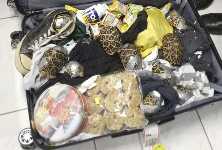 In this March 3, 2019, handout photo provided by the Bureau of Customs Public Information Office, duct-taped turtles are mixed inside luggage as they are presented to reporters in Manila, Philippines. Philippine authorities said that they found more than 1,500 live exotic turtles stuffed inside luggage at Manila's airport. The various types of turtles were found Sunday inside four pieces of left-behind luggage of a Filipino passenger arriving at Ninoy Aquino International Airport on a Philippine Airlines flight from Hong Kong, Customs officials said in a statement. (Bureau of Customs via AP)