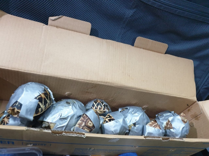 In this March 3, 2019, handout photo provided by the Bureau of Customs Public Information Office, duct-taped turtles are piled inside a box in Manila, Philippines. Philippine authorities said that they found more than 1,500 live exotic turtles stuffed inside luggage at Manila's airport. The various types of turtles were found Sunday inside four pieces of left-behind luggage of a Filipino passenger arriving at Ninoy Aquino International Airport on a Philippine Airlines flight from Hong Kong, Customs officials said in a statement.(Bureau of Customs via AP)