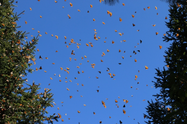In this Jan. 23, 2019 photo, numerous butterflies can be seen at one of their annual wintering spots in Cerro Pelón Monarch Butterfly Sanctuary near Macheros, Mexico. (Denise Siraco via AP)