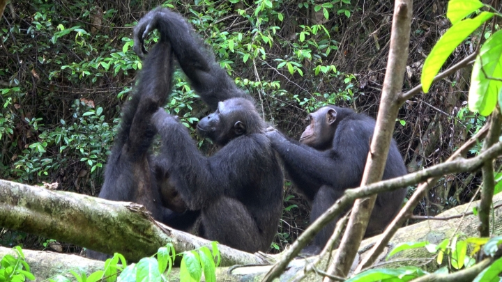 In this November 2018 photo provided by Tobias Deschner, male chimpanzees of the Rekambo community groom one another in the Logano National Park in Gambia. A study released on Thursday, March 6, 2019 highlights the diversity of chimp behaviors within groups _ traditions that are at least in part learned socially, and transmitted from generation to generation. (Tobias Deschner/Loango Chimpanzee Project via AP)