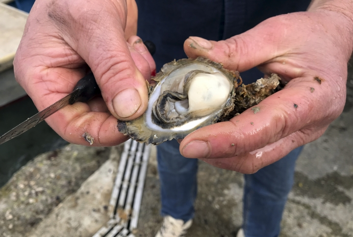 In this Friday, March 8, 2019 photo, Branko Radic, an oyster farmer opens an oyster shell in Mali Ston, southern Croatia. Authorities have detected norovirus, a bug that causes diarrhea and vomiting, in parts of the Mali Ston bay, raising alarm among the breeders who are proud of their industry. (AP Photo/Eldar Emric)