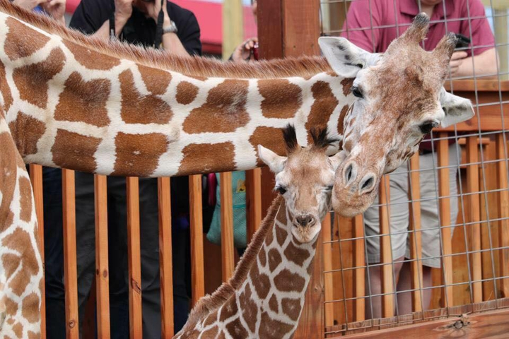 FILE - In this undated photo provided by Animal Adventure Park, April the giraffe and her offspring Tajiri are shown in their enclosure in Harpursville, N.Y. April is pregnant again and the staff at Animal Adventure Park are waiting for her to deliver at any time. (Animal Adventure Park via AP, File)