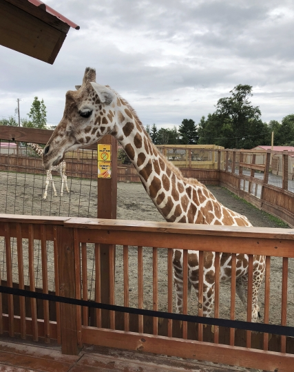 This July 25, 2018 file photo shows the April the Giraffe at Animal Adventure Park in Harpursville, N.Y. April is pregnant again and the staff at Animal Adventure Park are waiting for her to deliver at any moment. (Animal Adventure Park via AP, File)