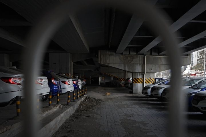 A cat walks in between a row of new Honda vehicles stored underneath an overpass in Beijing, Thursday, March 14, 2019. The downturn in China's auto market worsened in January and February as an economic slowdown and a tariff fight with Washington chilled demand in the industry's biggest global market. Sales of SUVs, minivans, and sedans plunged 17.5 percent from a year earlier to 3.2 million SUVs, minivans and sedans in the first two months of 2019, according to an industry group, the China Association of Auto Manufacturers. (AP Photo/Andy Wong)