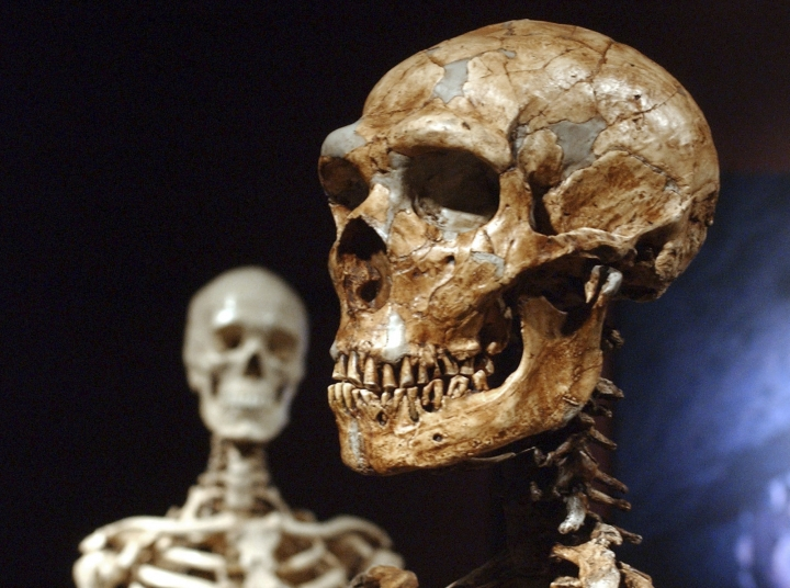 FILE - This Jan. 8, 2003 file photo shows a reconstructed Neanderthal skeleton, right, and a modern human version of a skeleton, left, on display at the Museum of Natural History in New York. Languages evolve as societies develop and change, but the sounds we utter are also shaped, literally, by the placement of our jaw – and that is influenced by how we chew our food, researchers say in a report released Thursday, March 14, 2019, in the journal Science. (AP Photo/Frank Franklin II, File)