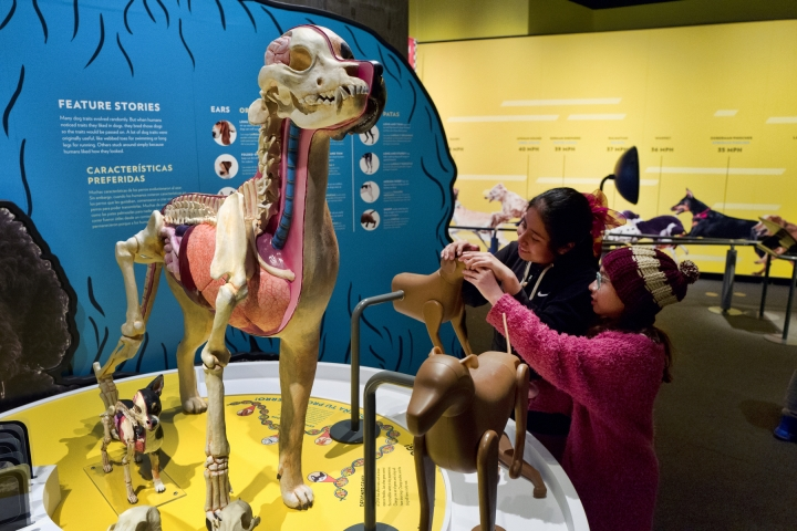 """In this Tuesday, March 12, 2019 photo students from the Theodore T. Alexander Science Center School play with interactive display at the California Science Center in Los Angeles. A new exhibit at a Los Angeles museum examines the relationship between dogs and humans and explores why the two species seem to think so much alike and get along so well. """"Dogs! A Science Tail"""" opens Saturday, March 16, 2019, at the California Science Center. (AP Photo/Richard Vogel)"""