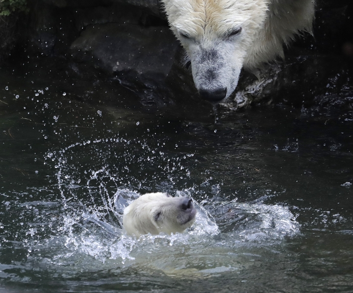 A female polar bear baby swims with its mother Tonja through their enclosure at the Tierpark zoo in Berlin, Friday, March 15, 2019. The still unnamed bear, born Dec. 1, 2018 at the Tierpark, is presented to the public for the first time. (AP Photo/Markus Schreiber)