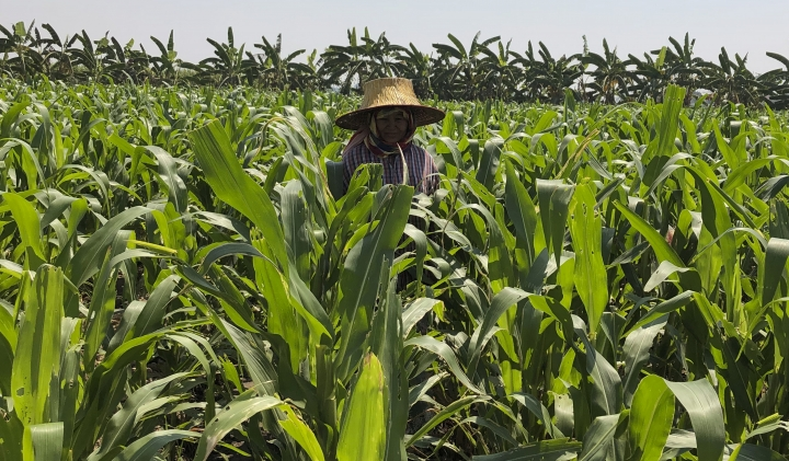 In this March 13, 2019, photo, farmer who goes by the name Sanae inspects and pulls corn shoots infested by fall armyworms in a field near Kanchanaburi, west of Bangkok, Thailand. The pest is munching its way through corn fields around the globe, raising alarm over damage to crops as it spreads into areas that may lack its natural enemies. (AP Photo/Elaine Kurtenbach)