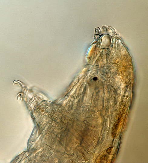 """This undated microscope photo provided by Thomas Boothby in March 2019 shows a tardigrade, also known as a """"water bear."""" The small animals, about the size of a period, are able to survive extreme heat, cold, radiation and even the vacuum of space. (Thomas Boothby via AP)"""