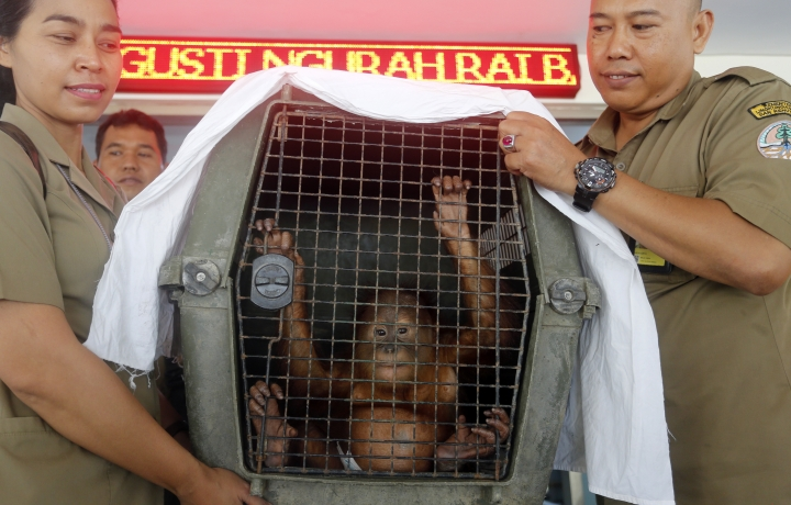 Indonesian Natural Resources Conservation Center officers carry a two-year-old male orangutan in a cage during a press conference in Bali, Indonesia Monday, March 25, 2019. Indonesian authorities have arrested a Russian tourist who was attempting to smuggle a drugged orangutan out of the resort island of Bali, a conservation official said Sunday. Orangutans are listed as critically endangered by the International Union for the Conservation of Nature. (AP Photo/Firdia Lisnawati)