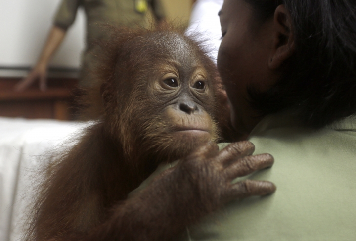 A veterinarian holds a 2-year-old male orangutan during a press conference in Bali, Indonesia on Monday, March 25, 2019. Indonesian authorities have arrested a Russian tourist who was attempting to smuggle a drugged orangutan out of the resort island of Bali, a conservation official said Sunday. Orangutans are listed as critically endangered by the International Union for the Conservation of Nature. (AP Photo/Firdia Lisnawati)