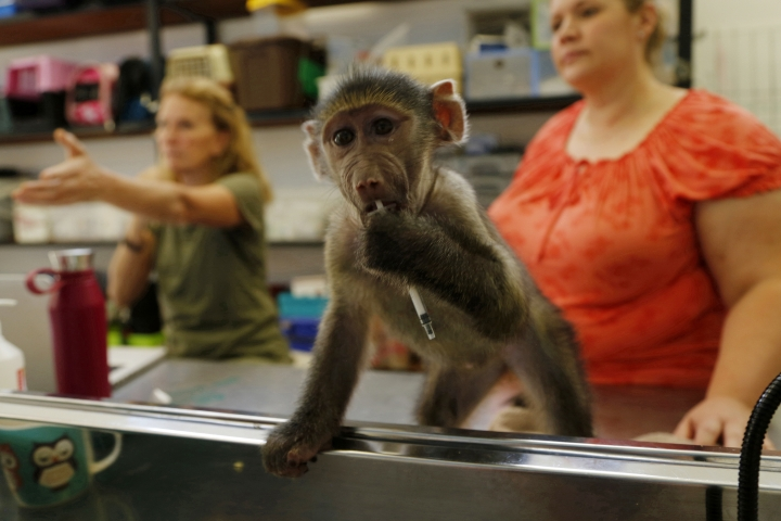 In this photo taken Wednesday, Feb. 20, 2019, baby primate carer Lauren Beckley, right, and veterinary rehabilitation specialist Nicci Wright, left, work at the Johannesburg Wildlife Veterinary Hospital, in Johannesburg. Beckley plays the part of a surrogate mother to baby primates at the hospital which mainly treats small mammals and raptors that are injured. (AP Photo/Denis Farrell)