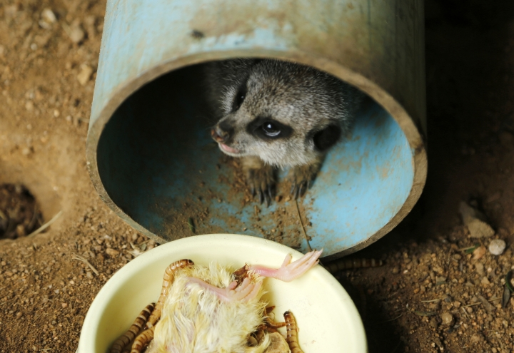 In this photo taken Tuesday Feb. 12, 2019, a meerkat peers out from a pipe at feeding time at the Johannesburg Wildlife Veterinary Hospital. With the expansion of Pretoria and Johannesburg, South Africa's capital city and its economic center, the animals indigenous to the region are being squeezed out by development. The wildlife hospital mainly treats small mammals and raptors that are injured. (AP Photo/Denis Farrell)
