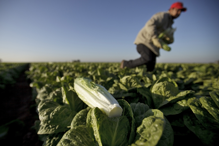 "FILE - In this Jan. 31, 2012 file photo, a farm worker carries heads of romaine lettuce in a field near Holtville, Calif. In a Nov. 15, 2018 email, James Gorny, a senior science adviser for produce safety at the FDA, wrote that growers ""cannot cling to their generic E. coli monitoring standard,"" which he called ""unacceptable."" The message came five days before the FDA made public another outbreak linked to romaine lettuce, and after a separate outbreak earlier in the year sickened more than 200 and killed five. (AP Photo/Gregory Bull)"