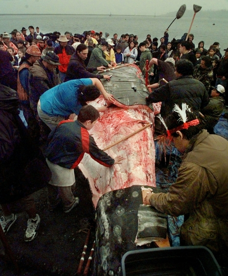 FILE - In this May 17, 1999, file photo, a boy reaches out to touch the carcass as Makah Indian whalers strip a gray whale of its flesh and villagers and media members gather around following the tribe's first successful whale hunt in over 70 years, in Neah Bay, Wash. Federal officials are now supporting the Native American tribe's decades-long request to resume whale hunts off the coast of Washington state.The National Oceanic and Atmospheric Administration on Thursday, April 4, 2019, announced its proposal to allow the Makah Tribe to hunt and harvest one to three gray whales annually over a 10-year period. (AP Photo/Elaine Thompson, File)