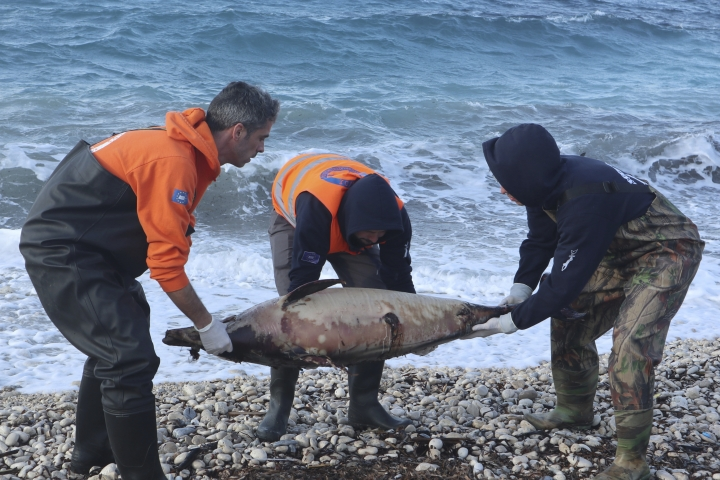 "In this photo provided by Archipelagos Institute of Marine Conservation members of Archipelagos institute carry a dead dolphin at a beach of Samos island, Aegean sea, Greece, on Saturday, Feb. 9, 2019. A Greek marine conservation group says a ""very unusual"" increase in Aegean Sea dolphin deaths over recent weeks may be linked with recent Turkish naval exercises in the area. A total 15 dead dolphins have washed up on the eastern island of Samos and other parts of Greece's Aegean coastline since late February, according to the Archipelagos Institute.(Bre-Anne Smith /Archipelagos via AP)"