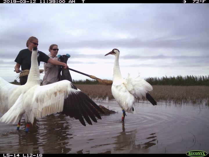 In this March 13, 2019 photo provided by the Louisiana Department of Wildlife and Fisheries, and taken by a trail cam, biologist Eva Szyszkoski uses brooms to fend off a pair of nesting whooping cranes, so biologist Sara Zimorski, right, can replace a data logging egg with the cranes' real egg in Jefferson Davis, La. Spy eggs may help Louisiana biologists learn why some whooping crane chicks die in the egg, while others hatch. State biologists swap egg-shaped data loggers for one of the two eggs that many cranes lay. The real eggs are incubated at Audubon Nature Institute until they're nearly ready to hatch. Then biologists swap them back. The fakes give up their data through an infrared connection. (Louisiana Department of Wildlife and Fisheries via AP)