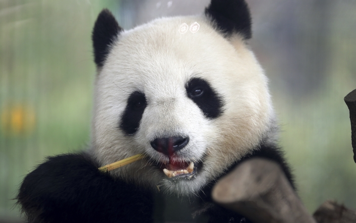 In this picture taken trough a window female panda Men Meng eats bamboo at its enclosure at the Zoo in Berlin, Germany, Friday, April 5, 2019. (AP Photo/Michael Sohn)