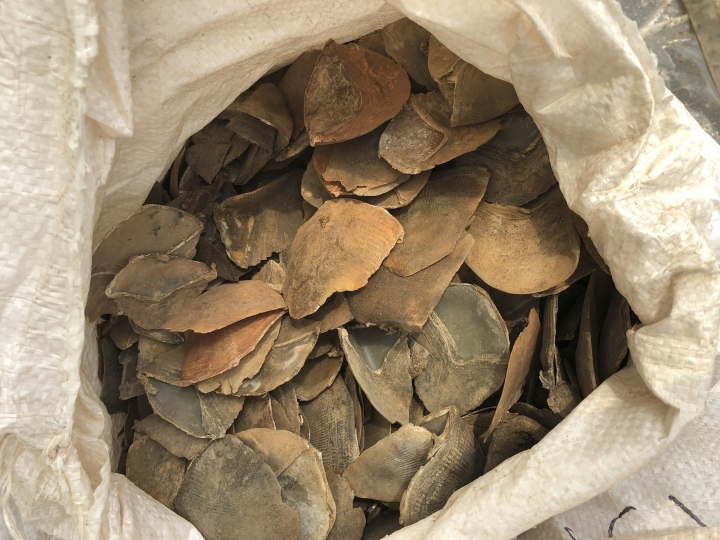 In this April 9, 2019, photo released by the National Parks Board, some of the 12 tons of pangolin scales worth around US$38.1 million are displayed in an undisclosed site in Singapore. Singapore has seized more than 25 tons of pangolin scales belonging to tens of thousands of the endangered mammals in two busts over the past week, a global record for such seizures. (National Parks Board via AP)