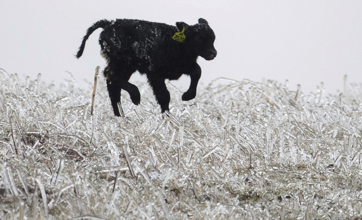 A calf runs through an ice field on a ranch outside of Kilgore, Neb., Wednesday, April 10, 2019. A bomb cyclone storm bringing heavy snow and strong winds to several Rockies and Plains states is making travel difficult in many areas and impossible in others. Officials have closed Interstate 29 in northeastern South Dakota and say other stretches of interstates are likely to close later. (Chris Machian/Omaha World-Herald via AP)