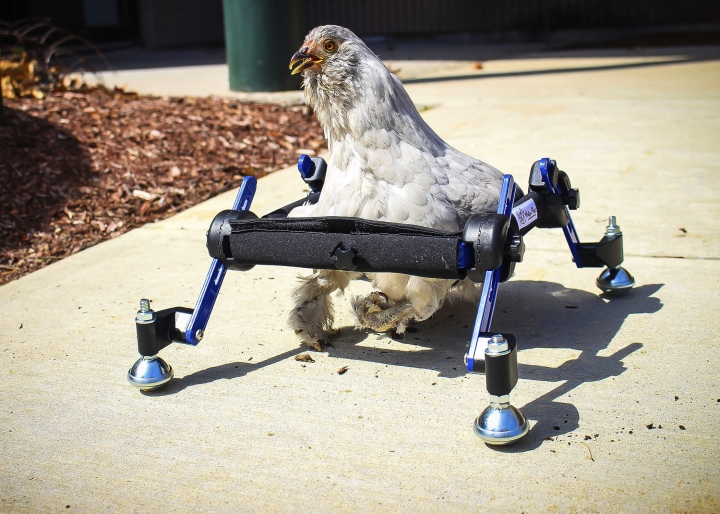 "In this provided by Mikayla Feehan and taken on April 3, 2019, a pet chicken named Granite Heart tests out a custom wheelchair made by Walkin' Pets in Amherst, N.H. On a recent SNL episode, the television show's ""Weekend Update"" co-host said she should ""just eat the chicken."" Ten-year-old Alora Wood of Underhill, Vermont, tells NECN-TV that she knows the segment was meant to be a joke, but says what if it was a dog. The chicken was born with a deformed foot. (Mikayla Feehan/Via AP)"
