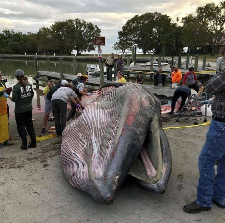 This 2018 photo provided by the National Park Service shows, scientists perform a necropsy on Bryde's whale that was stranded in the Florida Everglades National Park. Federal scientists say a tiny group of Bryde's whales in the Gulf of Mexico is endangered, with threats including oil and gas exploration and development. Laura Engleby, a marine mammal biologist with the National Oceanic and Atmospheric Administration fisheries' service, said Friday, April 12, 2019, that there may be as few as 23 in the Gulf's DeSoto Canyon. (National Park Service via AP)