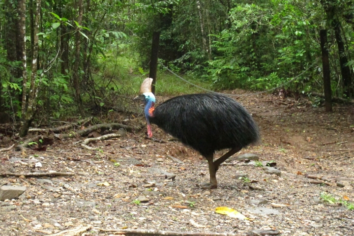 FILE - In this June 30, 2015, file photo, an endangered cassowary roams in the Daintree National Forest, Australia. On Friday, April 12, 2019, a cassowary, a large, flightless bird native to Australia and New Guinea, killed its owner when it attacked him after he fell on his property near Gainesville, Fla. Cassowaries are similar to emus and stand up to 6 feet (1.8 meters) tall and weigh up to 130 pounds (59 kilograms). (AP Photo/Wilson Ring, File)