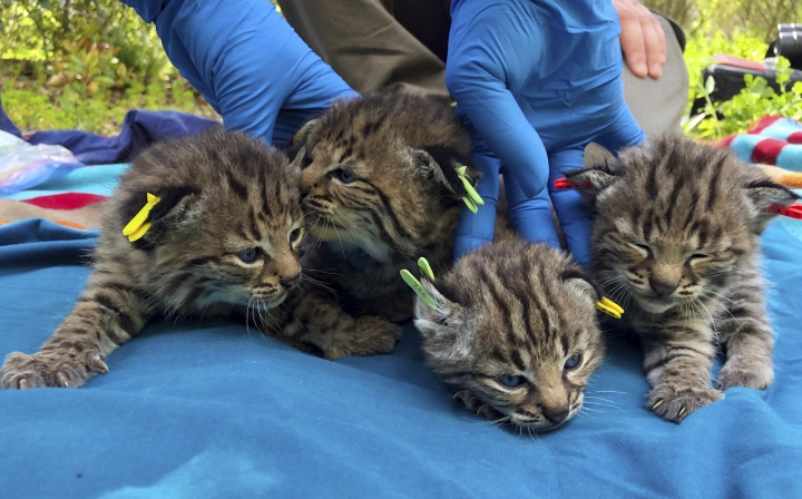 This Aptil 9, 2019 photo provided by the National Park Service shows four kittens born to a young bobcat captured, collared and released a day before a massive, deadly wildfire, in a large residential backyard in Thousand Oaks, Calif. Authorities at the Santa Monica Mountains National Recreation Area said Friday, April 19, 2019 that biologists recently found the bobcat's den in dense vegetation. (Ana Beatriz Cholo/National Park Service via AP)